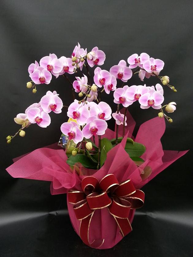 217-1粉色慶典蝴蝶蘭七入組合盆栽禮蘭 1