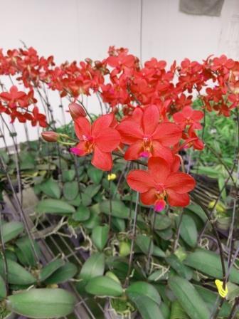 1189  Phalaenopsis Chingruey's Blackpearl x Vanda Robert's Delight 1