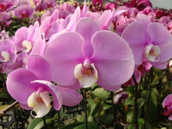4788(Phalaenopsis Sogo Yukidian x Dtps. Taiwan Black Jack) 'Pink #1' 1